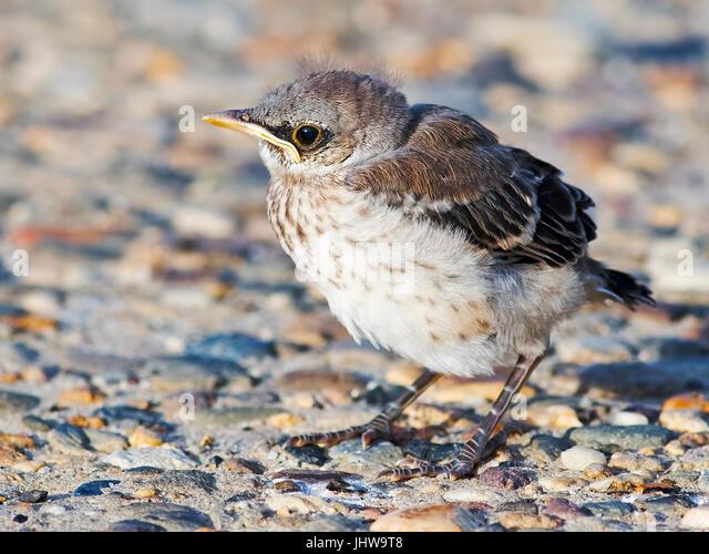 Baby Northern Mockingbird - Stock Image