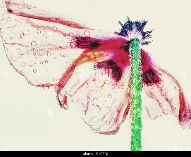 Faded poppy. - Stock Image