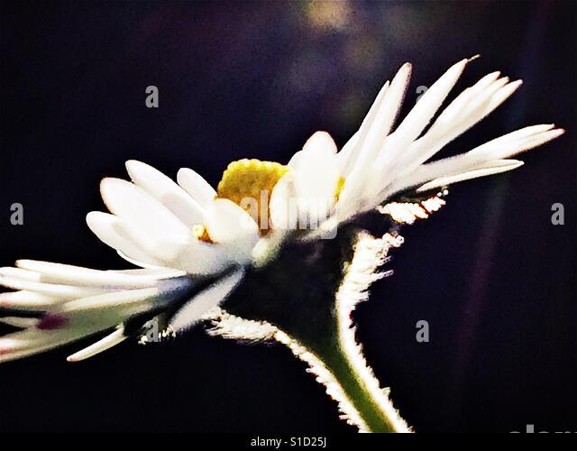 Pretty daisy head in close up - Stock-Bilder