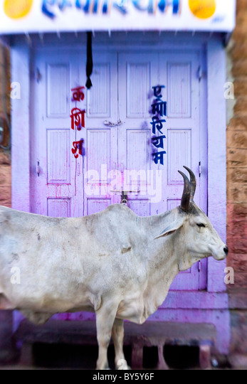Cow in doorway, Jodhpur, Rajasthan, India - Stock Image