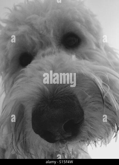 A white labradoodle dog looking. - Stock Image