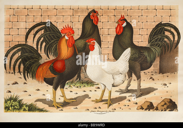 Antique Hand Coloured Print of Farmyard Fowl - Stock Image