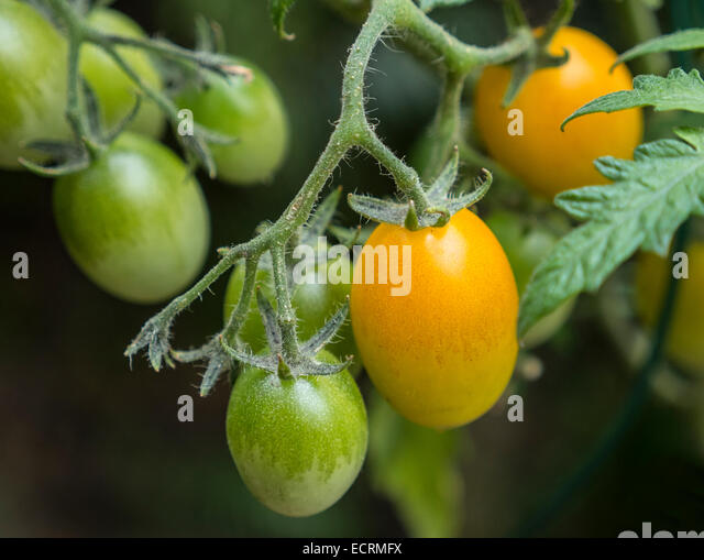 Plum tomatoes growing on tomato plant - Stock Image