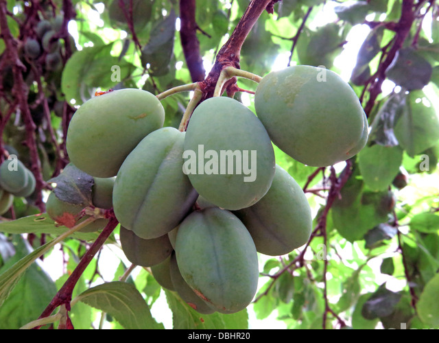 Ripe green English plums - Stock Image