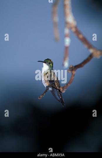 Birds Hummingbird Trinidad and Tobago perched on limb looking at camera nature natural caribbean wildlife - Stock Image