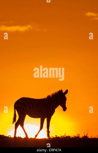 Plains zebra (Equus quagga) at dawn in Mara Naboisho conservancy Kenya Aftica - Stock Image