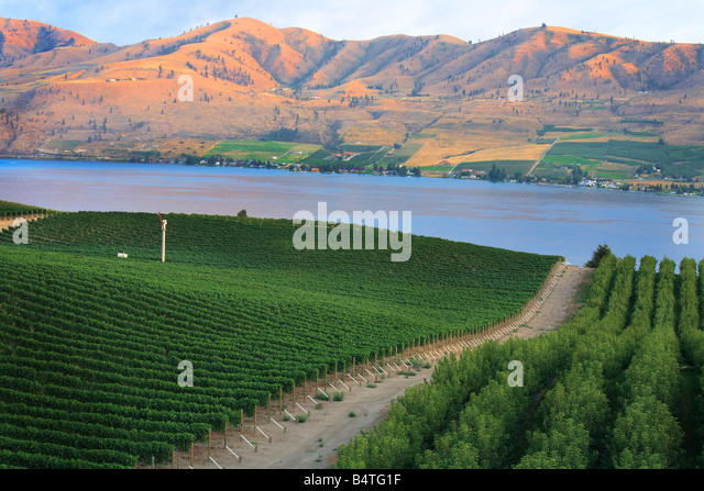 Vineyard in Chelan, Washington, with Lake Chelan below - Stock Image