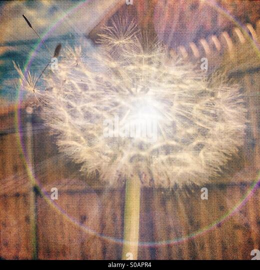 Dandelion with light flare against fence - Stock Image