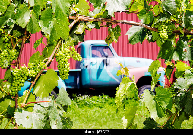 Michigan Fennville Fenn Valley Vineyards and Wine Cellar agriculture viticulture grapes fruit plants man Chevy Chevrolet - Stock Image
