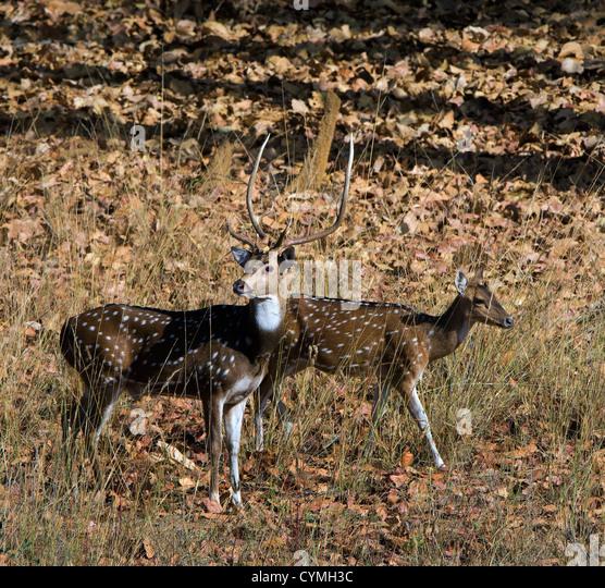 The pair of deer goes on wood. Bandhavgarh. India. - Stock Image