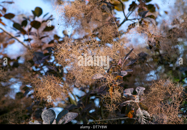Cotinus coggygria 'Royal Purple'  / Smoke bush, covered in delicate smoke like flowers - Stock Image