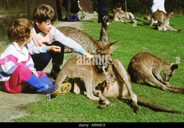 Children with Grey Kangaroo (Macropus giganteus) at zoo in Sydney  Australia - Stock Image