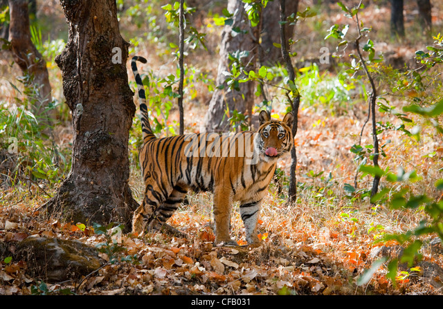 Bengal Tiger marking his territory, Bandhavgarh National Park, Madhya Pradesh, India - Stock-Bilder