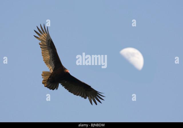 Turkey Vulture flying near half moon - Stock-Bilder