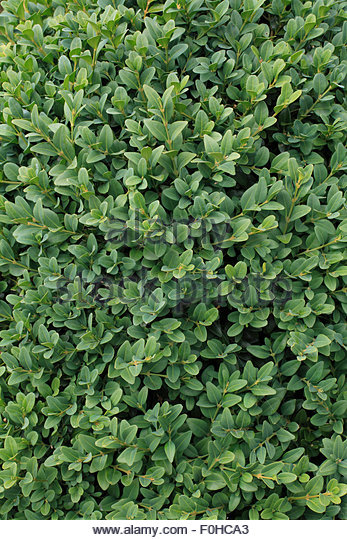buxus sempervirens stock photos buxus sempervirens stock. Black Bedroom Furniture Sets. Home Design Ideas