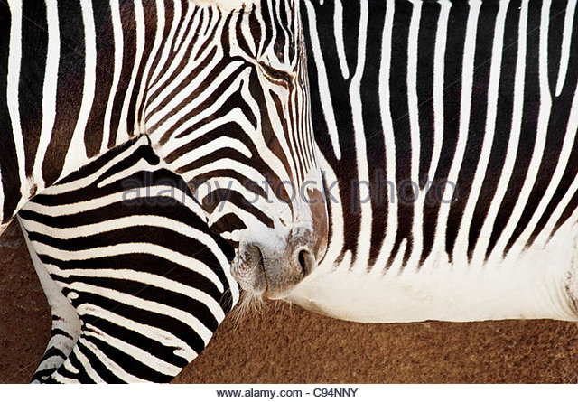 Close-up of Zebra Pattern, Grevy's Zebra, Equus grevyi, Los Angeles Zoo, Los Angeles, California, USA - Stock Image