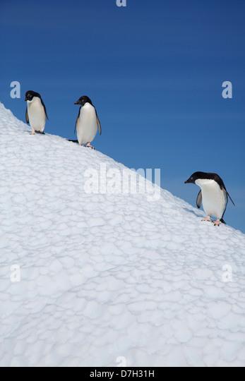 Adélie Penguin, (Pygoscelis adeliae), Petermann Island, Antarctica. - Stock Image