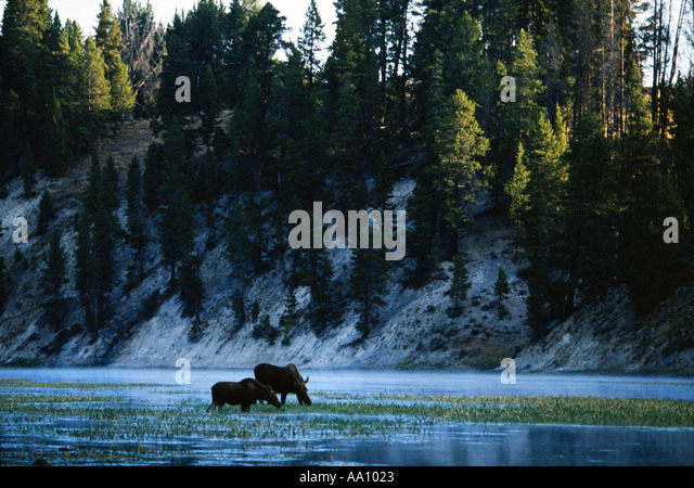 A cow and calf moose Alces alces feed in Yellowstone River Yellowstone Natonal Park Wyoming Copyright Duane Burleson - Stock Image