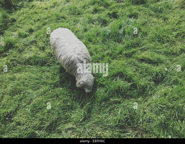 Overhead view of a sheep - Stock Image