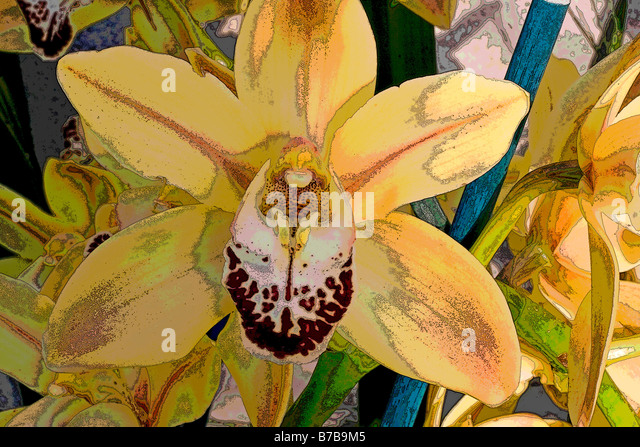 CYMBIDIUM KINTYRE GOLD - Stock Image