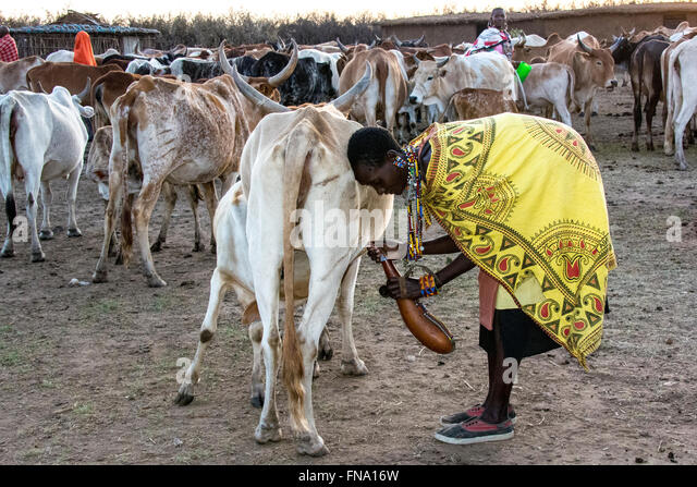 Maasai woman, wearing a colorful kanga and sneakers, milking a cow into a gourd, the traditional job of the women - Stock Image