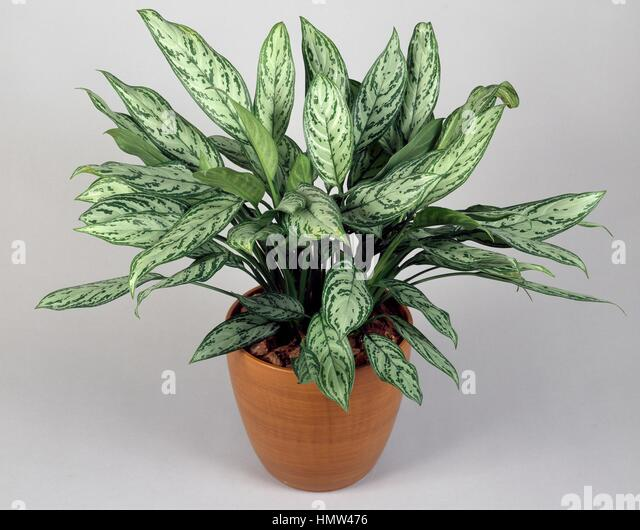 house plant emerald queen html with Aglaonema on Fern House Plant Seeds also Plants Trees And Other Flowers also Queen Maxima Of  herlands Visits additionally Aglaonema together with Michelle Obama Shines US Party Attended David Beckham.