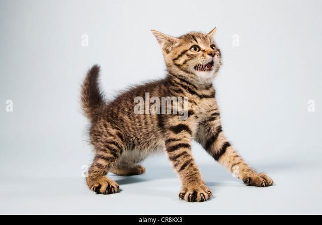 Scared kitten - Stock Image