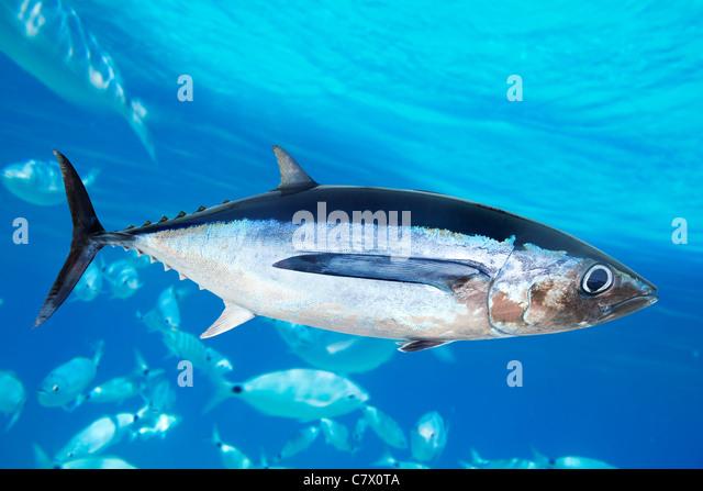 Albacore tuna fish Thunnus Alalunga underwater ocean - Stock Image