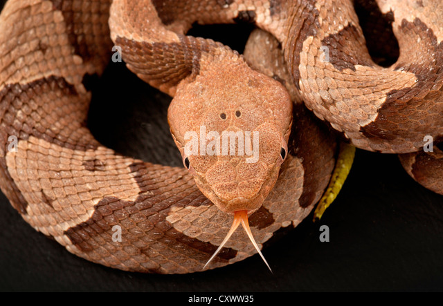 Southern copperhead snake, Agkistrodon contortrix - Stock Image