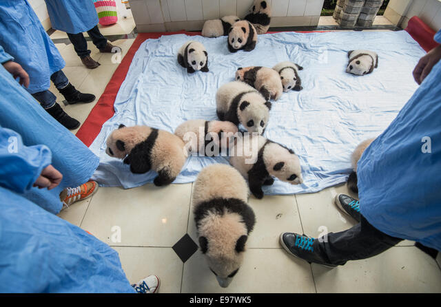 Fourteen baby captive bred pandas are brought out and put on a blanket at the panda breeding center of Bifengxia - Stock Image