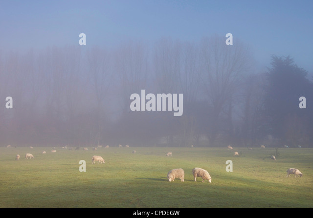 Misty trees, and sheep,  Exe Valley, Devon, England, United Kingdom, Europe - Stock Image