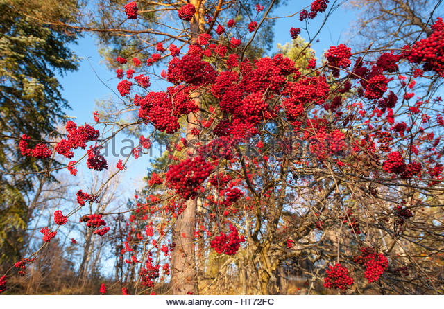 Bright red rowanberries in autumn, or fall. - Stock Image