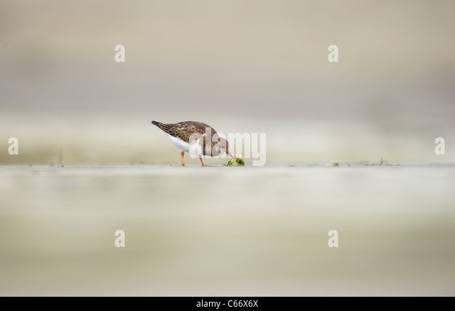 Turnstone Arenaria interpres Profile of an adult foraging on a secluded beach Shetland Islands, Scotland, UK - Stock-Bilder