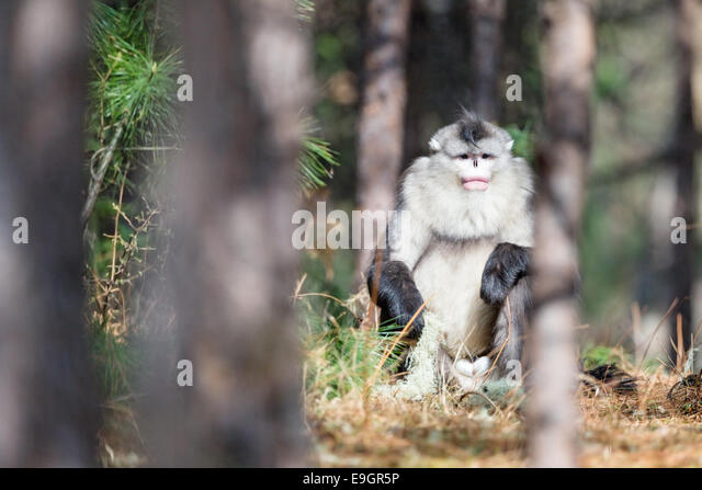 Adult male Yunnan Snub-nosed Monkey (Rhinopithecus bieti) basking in the morning sun - Stock Image
