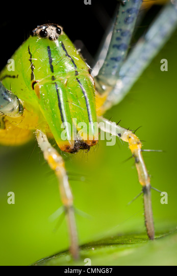 Malagasy green lynx spider (Peucetia madagascariensis). Masoala Peninsula National Park, north east Madagascar. - Stock Image