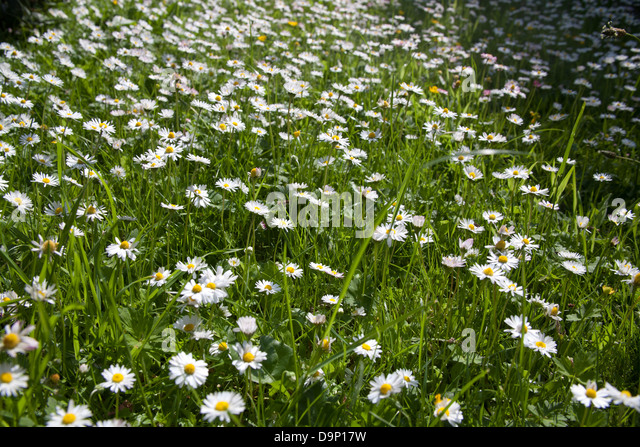 how to grow wild daisy