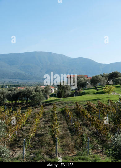Yedi Bilgeler vineyard, Gokcealan, Agean region, Turkey. - Stock Image