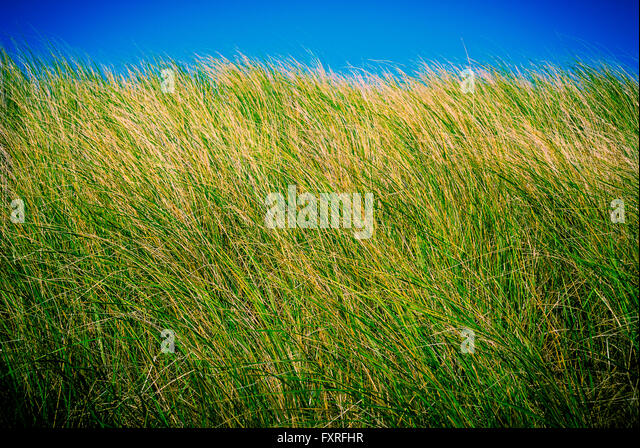 Minimalist view of beach grass, Ludington Dunes State Park, Michigan, USA. Photography by Jeffrey Wickett, NorthLight - Stock Image