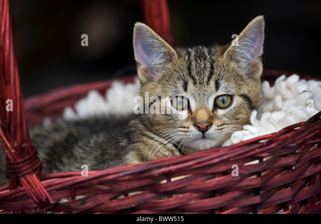 Domestic cat (Felis catus) resting in red basket - Stock Image
