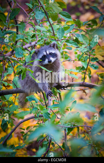 The raccoon is a medium-sized mammal native to North America. - Stock Image