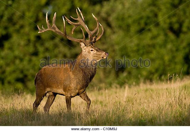 Red deer (Cervus elaphus), stag, Germany, Europe - Stock Image
