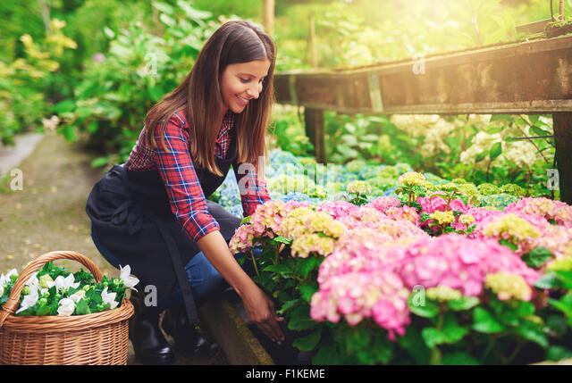Woman selecting a pink hydrangea from amongst the stock in the greenhouse at a nursery bending down with a smile - Stock Image