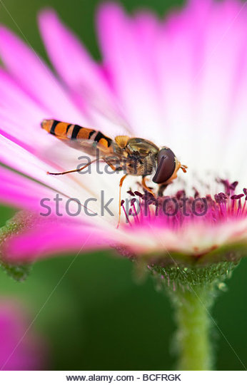 Syrphus torvus. Hoverfly feeding on Livingstone daisy flower - Stock Image