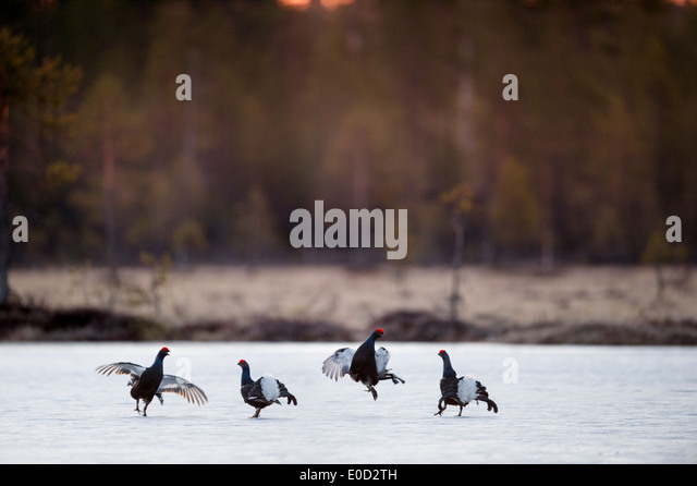 Black Grouse, two pairs of males fighting on frozen lake at sunrise. April 2012, Kuhmo, Finland (Tetrao tetrix) - Stock-Bilder