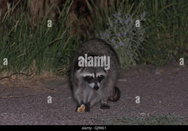Raccoon, (Procyon lotor), eating trash.  Elephant Butte State Park, New Mexico, USA. - Stock Image