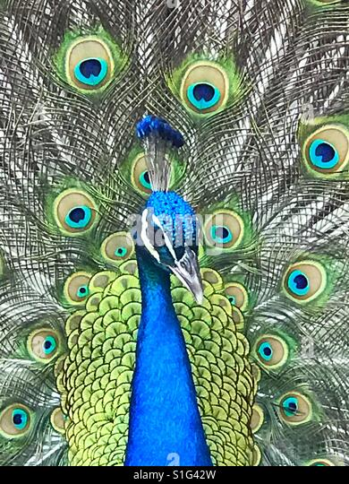 Peacock macro - Stock-Bilder