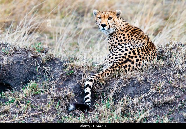 Cheetah, Acinonyx  jubatus, searching for prey, Masai Mara National Reserve, Kenya, Africa - Stock Image