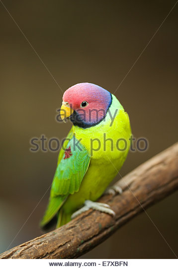 The plum-headed parakeet (Psittacula cyanocephala) s a parakeet endemic to the Indian Subcontinent. - Stock-Bilder