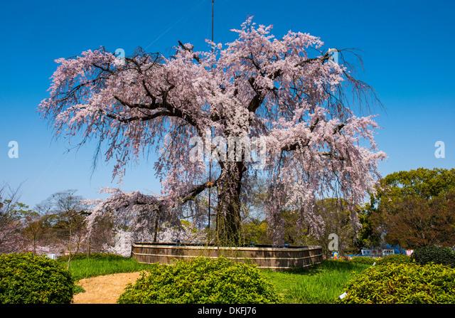 Cherry blossom, Maruyama-Koen park, Kyoto, Japan - Stock Image