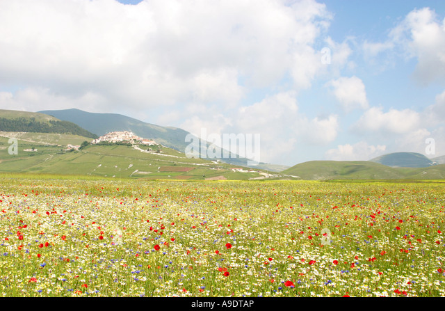 Wild flower display on the Piano Grande ,Sibillini National Park,Le Marche Italy - Stock Image